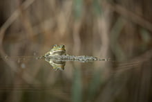 Teichfrosch (Bild: Robert Hangartner, ND)