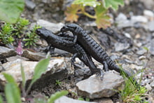 Alpensalamander (Matthias Meyer, ND)